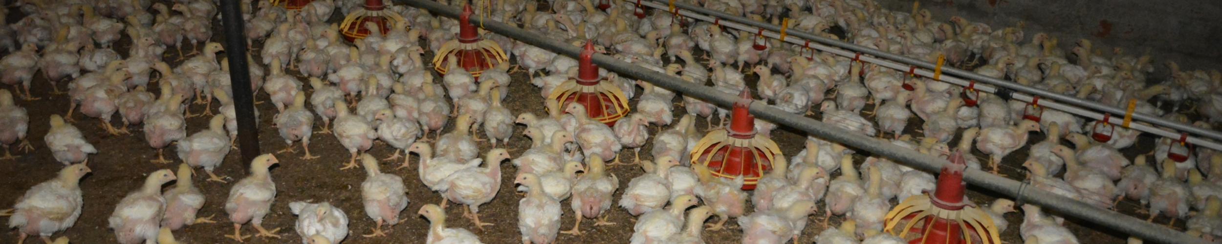 Onderzoek bij pluimveehouders