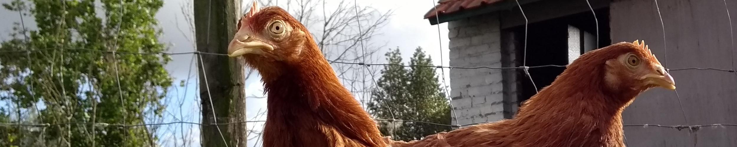 Sterktes en zwaktes van de Vlaamse pluimveesector